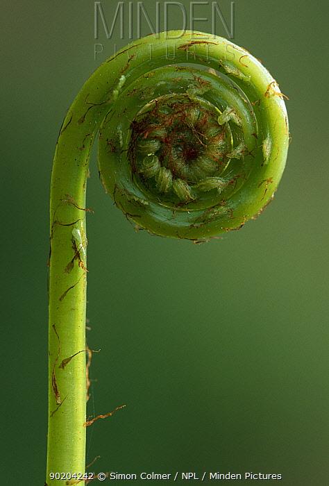 Hard fern (Blechnum spicant) frond uncurling, Perthshire, Scotland, UK  -  Simon Colmer/ npl