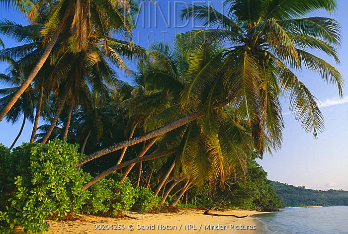 Palm trees on the beach, Anse Royale, Mahe, Seychelles  -  David Noton/ npl