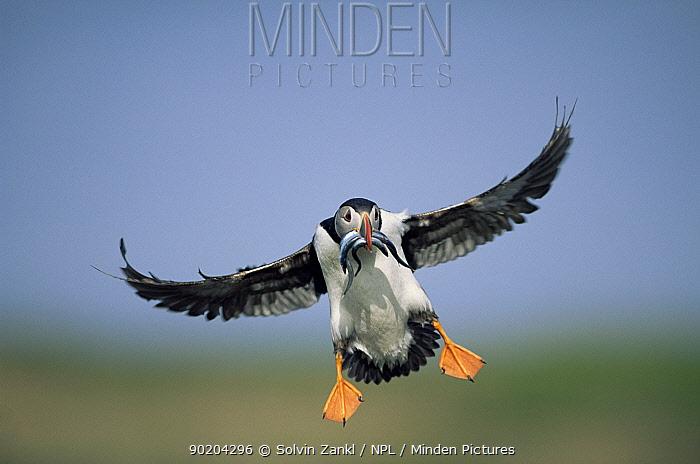 Puffin (Fratercula arctica) landing with sandeels in beak, Orkney, Scotland, UK 2006  -  Solvin Zankl/ npl