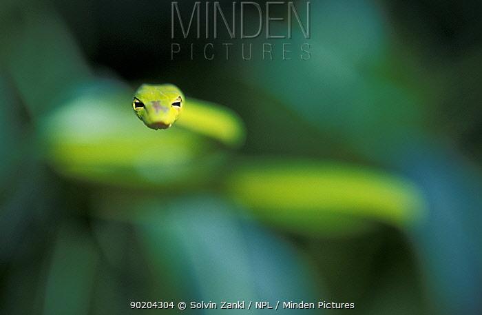 Long-nosed whip snake coming towards camera (Ahaetulla prasina) Sulawesi, Indonesia  -  Solvin Zankl/ npl