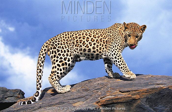 Leopard portrait (Panthera pardus) captive, Namibia, Southern Africa  -  Ingo Arndt/ npl