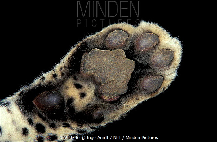 Close up of foot of Leopard (Panthera pardus)  -  Ingo Arndt/ npl