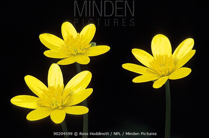 Three Lesser celandine flowers (Ranunculus ficaria) Cornwall, UK  -  Ross Hoddinott/ npl