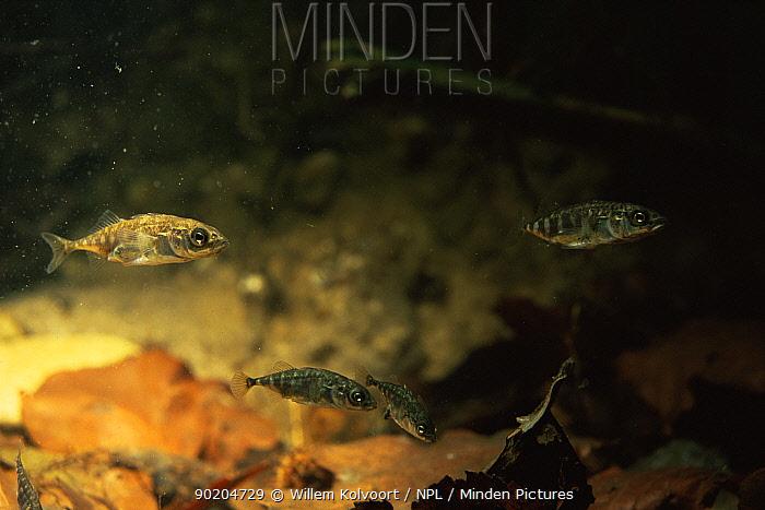 Three spined stickleback (Gasterosteus aculeatus) Holland  -  Willem Kolvoort/ npl