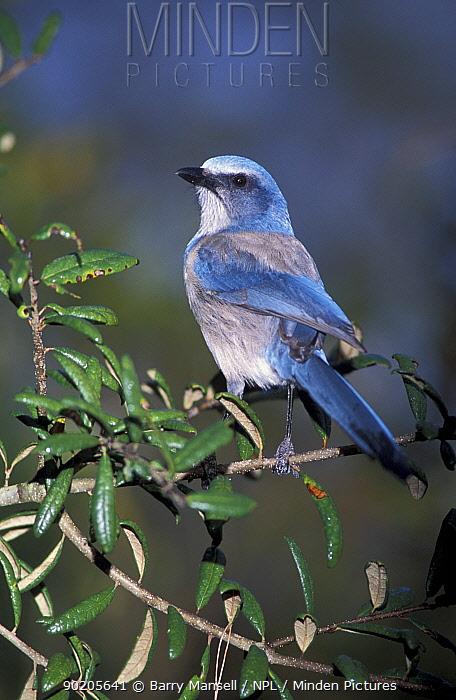 Scrub jay (Apelocoma coerulescens) Florida, USA Threatened species  -  Barry Mansell/ npl