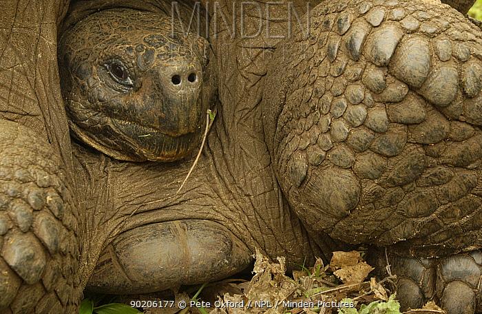 D, Galapagos Giant tortoise portrait, Dome form (Geochelone elephantopus) retreating into shell Darwin Research Station Santa Cruz Is Galapagos Islands, Ecuador South America  -  Pete Oxford/ npl