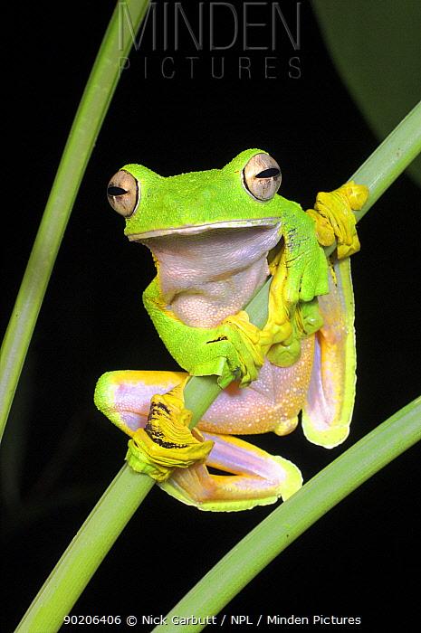 Wallace's flying, gliding frog (Rhacophorus nigropalmatus) perching on understory vegetation at night, Danum Valley, Sabah, Borneo  -  Nick Garbutt/ npl