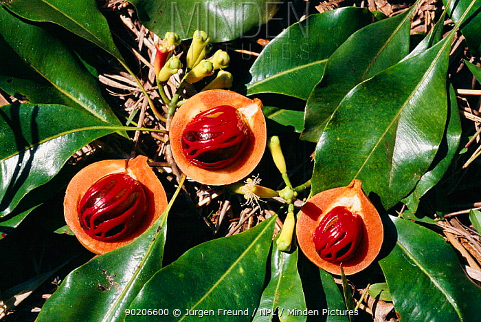 Nutmeg and cloves fresh from the tree (Myristica fragrans) Sulawesi, Indonesia, Sangihe