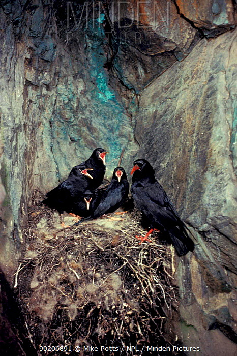 Chough nest with chicks in old copper mine (Pyrrhocorax pyrrhocorax) Snowdonia NP, Wales  -  Mike Potts/ npl