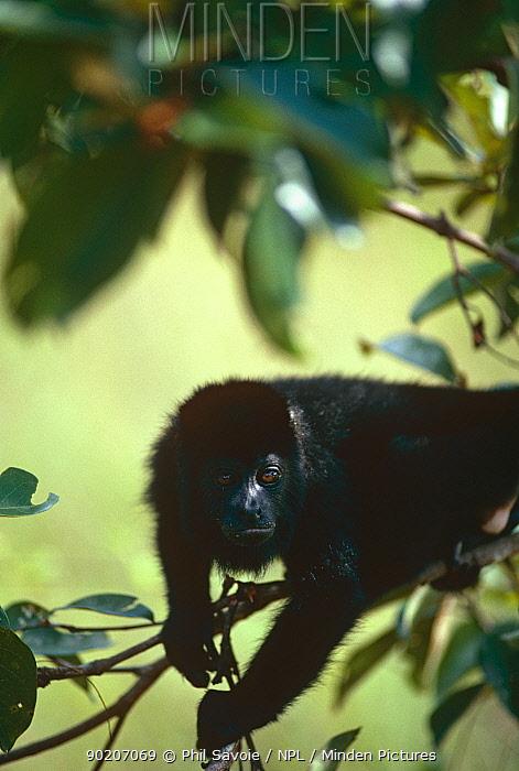 Black howler monkey (Alouatta caraya) in rainforest, Belize  -  Phil Savoie/ npl