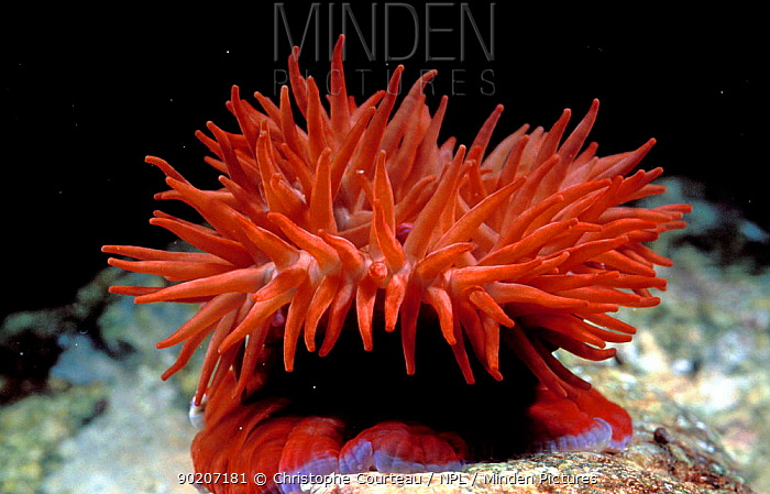 Beadlet anemone tentacles open (Actinia equina) Brittany France  -  Christophe Courteau/ npl