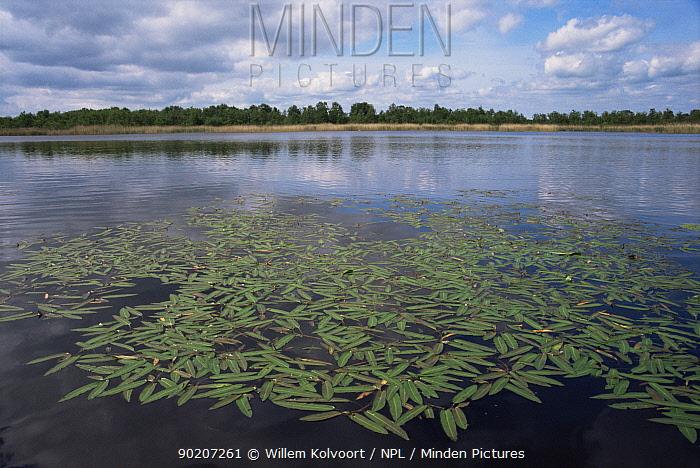 Common bistort (Polygonum bistorta) at Lake Naarden, Holland  -  Willem Kolvoort/ npl
