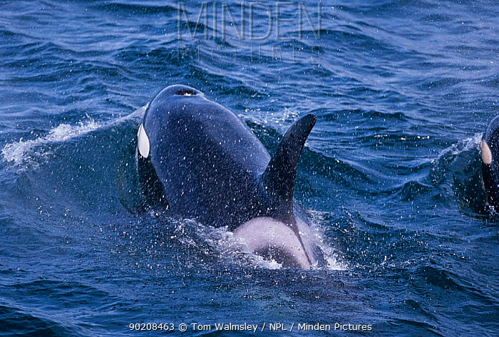 Killer whale surfacing showing dorsal fin, eyepatch and blowhole (Orcinus orca) Iceland  -  Tom Walmsley/ npl