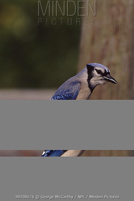 Blue jay, Everglades, Florida, USA  -  George Mccarthy/ npl