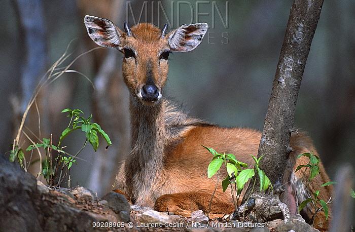 Nilgai juvenile male at rest (Boselaphus tragocamelus) Sariska NP, Rajasthan, India  -  Laurent Geslin/ npl