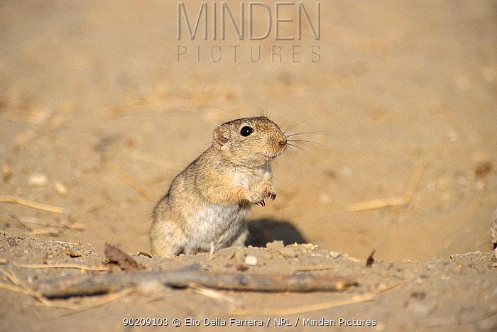 Indian desert gerbil or jird (Meriones hurrianae) Thar Desert, India  -  Elio Della Ferrera/ npl