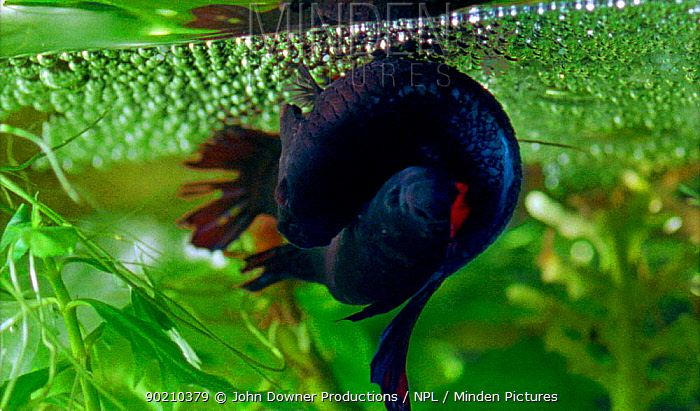 Minden pictures stock photos siamese fighting fish for Betta fish bubbles