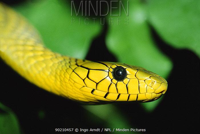 Western green mamba snake (Dendroaspis viridis) occurs Africa  -  Ingo Arndt/ npl