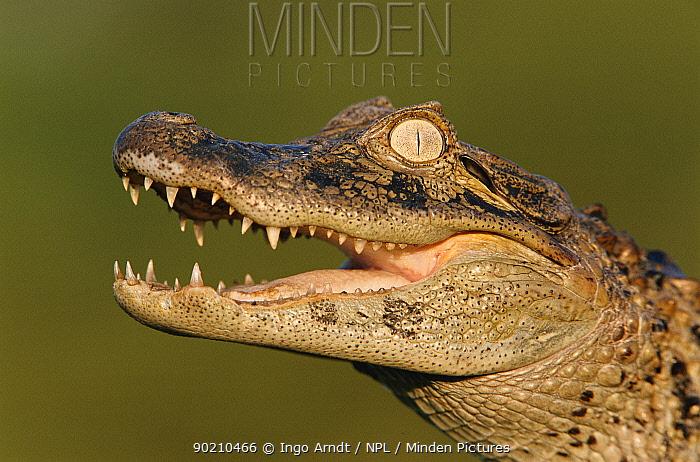 Broad nosed caiman (Caiman latirostris) Argentina  -  Ingo Arndt/ npl