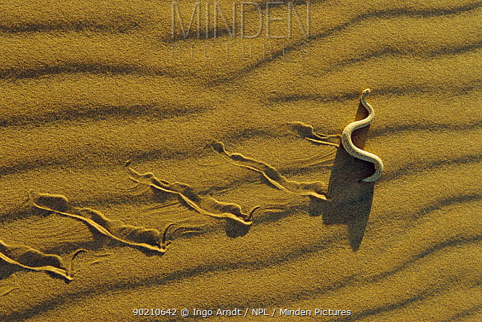 Minden Pictures stock photos - Dwarf puff adder, Sidewinder