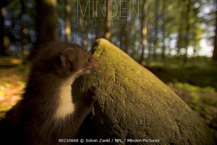 Beech marten in woodland (Martes foina)  -  Solvin Zankl/ npl