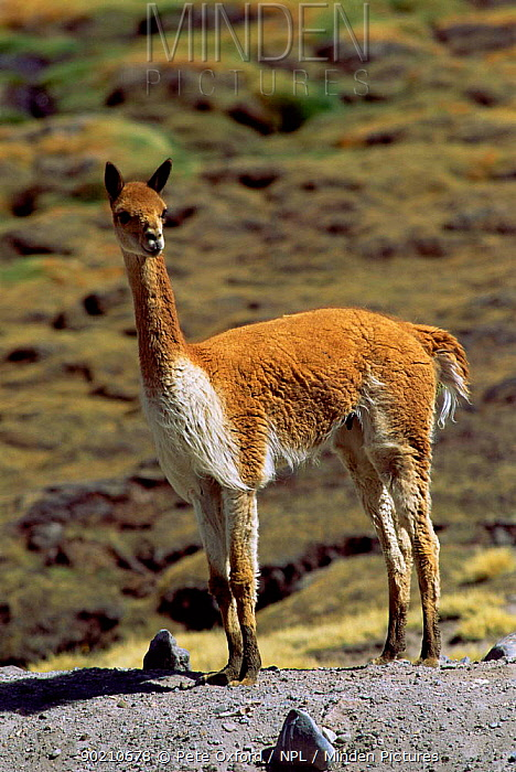 Vicuna profile portrait (Lama vicugna), Northern Andes, South America  -  Pete Oxford/ npl