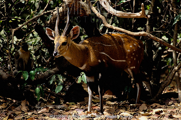 Western bushbuck antelope (Tragelaphus scriptus) and Vervet monkey (Cercopithecus aethiops) in forest, Gambia, West Africa  -  Mike Wilkes/ npl