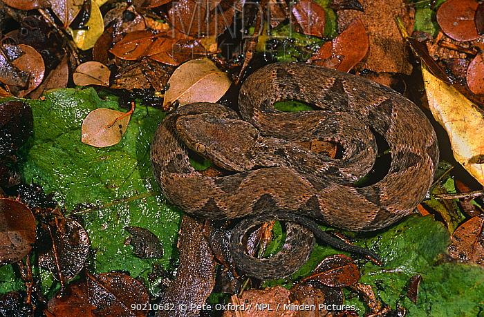 Fer de lance snake (Bothrops asper) Esmereldas, Ecuador  -  Pete Oxford/ npl