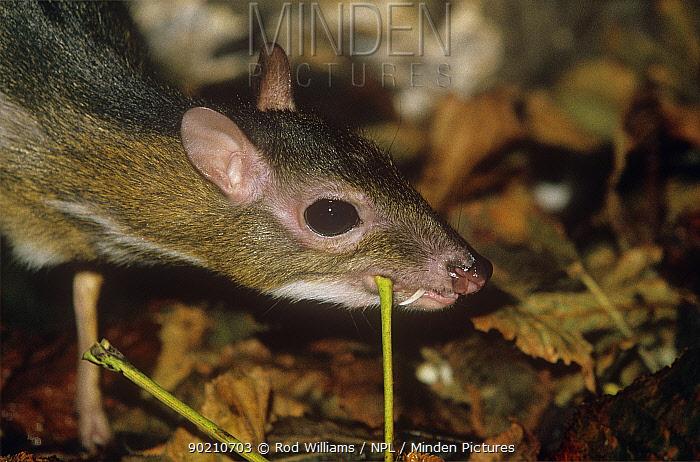 Java chevrotain, mouse deer (Tragulus javanicus) male scentmarking vegetation, captive, from Java  -  Rod Williams/ npl