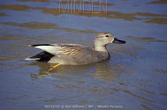Gadwall male (Anas strepera)  -  Rod Williams/ npl