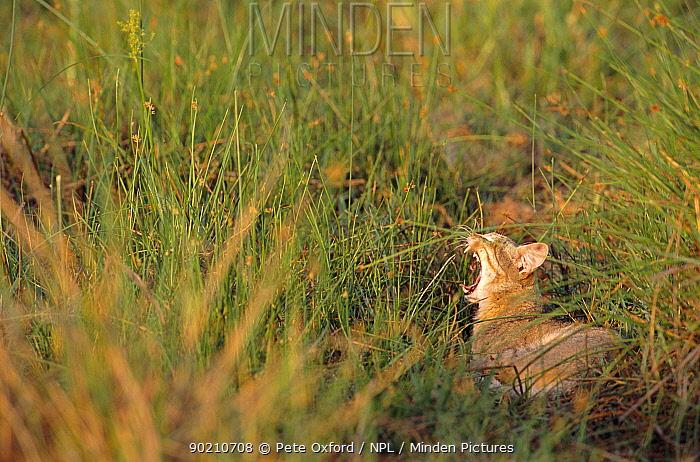 African wild cat yawning (Felis sylvestris libyca) Okavango delta, Botswana  -  Pete Oxford/ npl