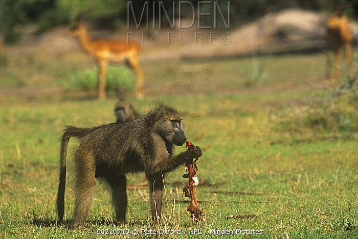 Chacma baboon (Papio ursinus) feeding on baby Impala, Okavango delta, Botswana  -  Pete Oxford/ npl