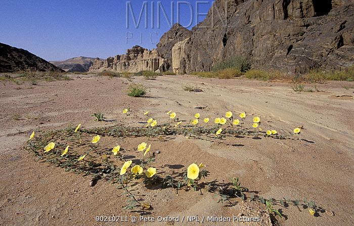 Devil's thorn in flower (Tribulus terrestris) Clay castles, Skeleton coast, Namibia  -  Pete Oxford/ npl