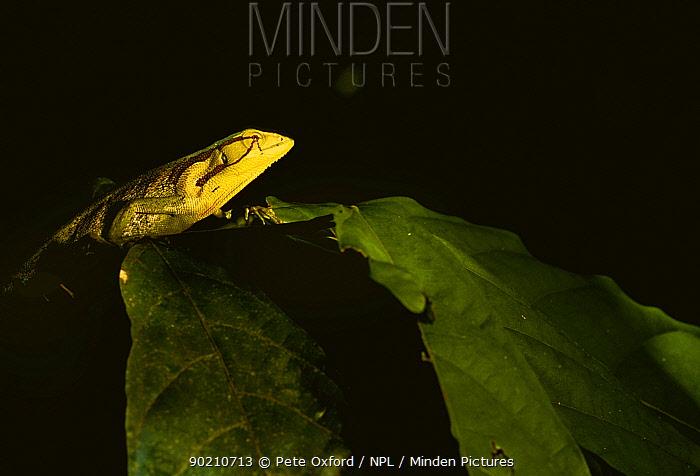 Iguanid lizard (Polychrus sp) Urabamba river, Amazonia, Peru  -  Pete Oxford/ npl