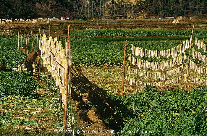 Chinese radish crop (Raphanus sativus) drying on line, Kunming, Yunnan, China  -  Pete Oxford/ npl