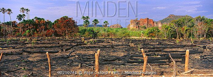 Cleared for Cattle Slash and burn agriculture Cerrado habitat Brazil South America Threatened habitat  -  Pete Oxford/ npl