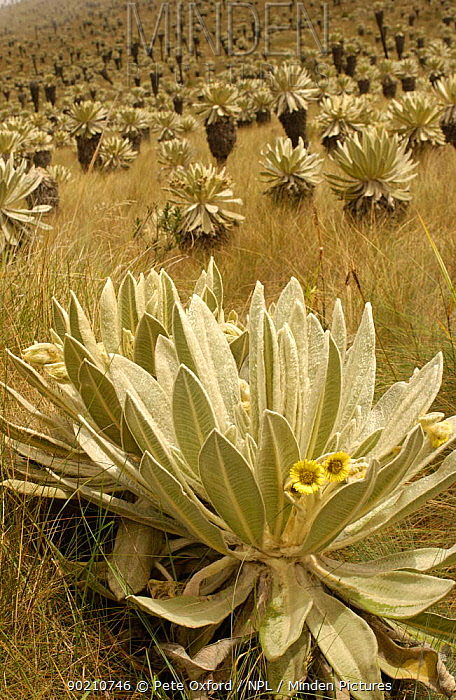 Frailejones (Espeletia) in bloom El Angel Ecological Reserve, 3700 m above sea level Paramo habitat Andes, NE Ecuador Plant endemic to northern Andes  -  Pete Oxford/ npl