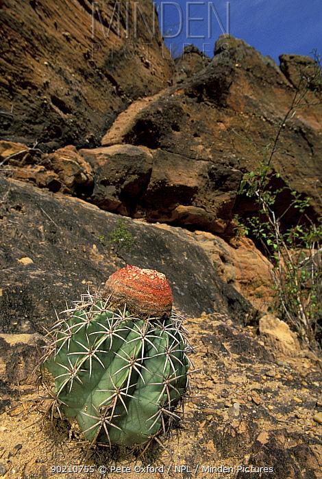 Caatinga habitat with Pope's head, Melon cactus (Melocactus sp) NE Brazil  -  Pete Oxford/ npl