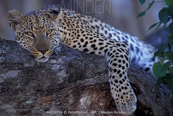 Leopard resting in tree (Panthera pardus) Okavango delta, Botswana  -  Pete Oxford/ npl