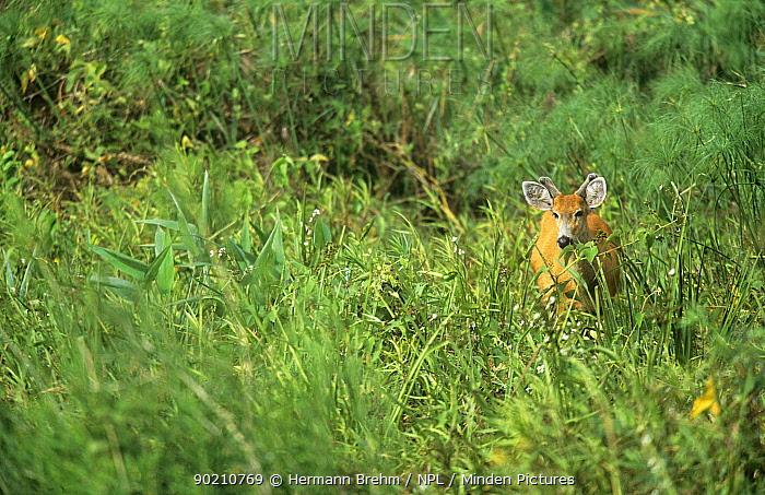 Marsh deer (Blastocerus dichotomus) in wetlands, Pantanal, Brazil, vulnerable species  -  Hermann Brehm/ npl