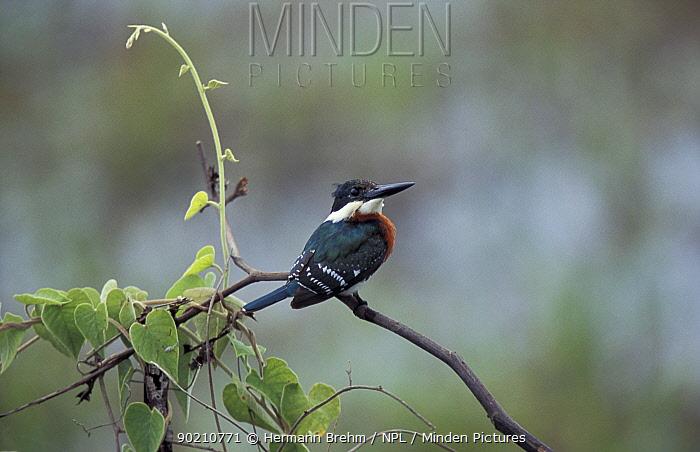 Green kingfisher male (Chloroceryle americana) Pantanal, Brazil  -  Hermann Brehm/ npl