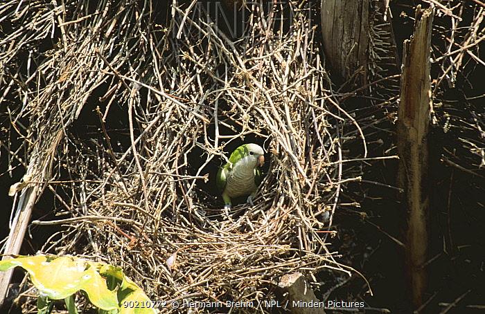 Monk parakeet at nest (Myiopsitta monachus) Pantanal, Brazil  -  Hermann Brehm/ npl