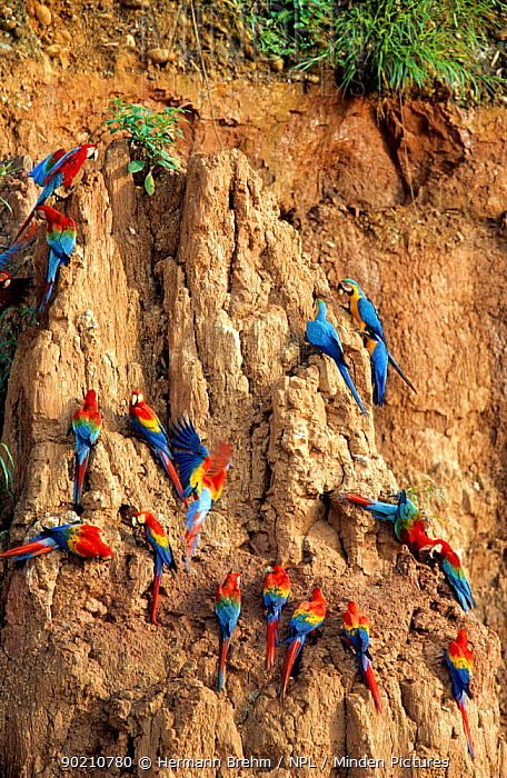 Scarlet macaws, Blue and yellow macaws and Red and green macaws on clay lick cliffs (Ara sp) Tambopata NR, Peru  -  Hermann Brehm/ npl