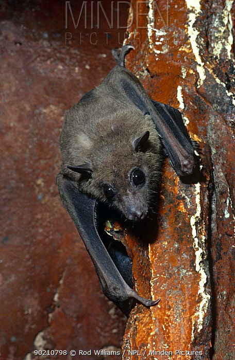 African fruit bat on wall (Rousettus aegyptiacus leachi) captive, found in Africa  -  Rod Williams/ npl