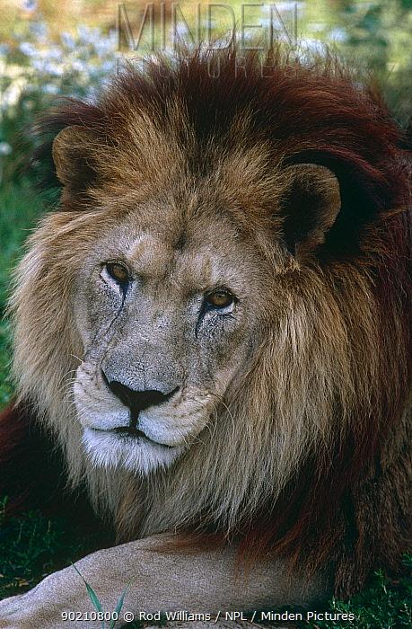Male Barbary, Atlas lion (Panthera leo leo) captive, Extinct in the wild  -  Rod Williams/ npl