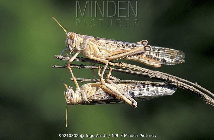 Desert locusts (Schistocerca gregaria) captive, Africa  -  Ingo Arndt/ npl