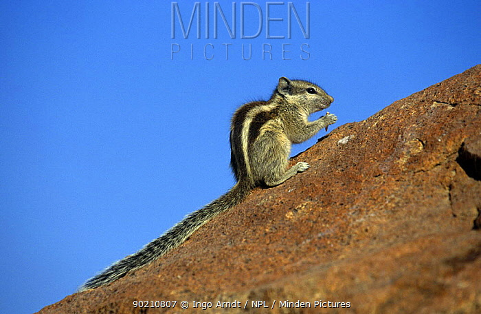 Indian palm squirrel (Funambulus palmarum) feeding, Rajasthan, India  -  Ingo Arndt/ npl