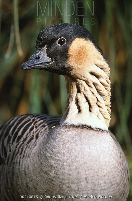 Nene or Hawaiian goose (Branta sandvicensis) captive, occurs Hawaii  -  Rod Williams/ npl