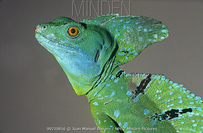 Jesus Christ lizard with flaky skin (Basiliscus basiliscus) Tortuguero NP, Costa Rica  -  Juan Manuel Borrero/ npl