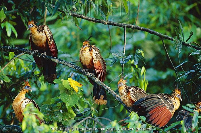 Hoatzins perched in tree (Opisthocomus hoazin) Peru, South America  -  Hermann Brehm/ npl